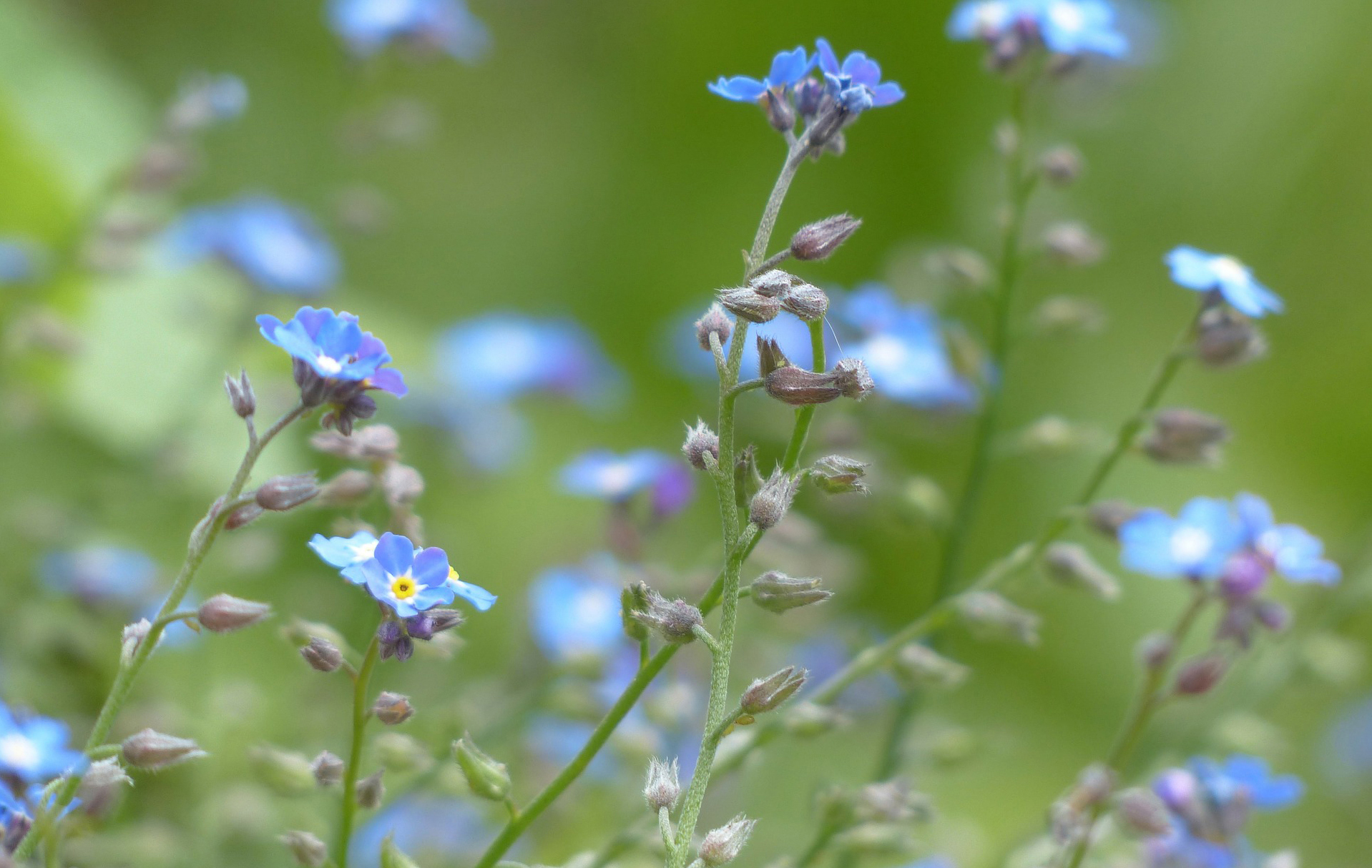Close-up of forget-me-not flowers in a field.